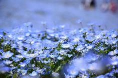 満開のネモフィラ ~国営ひたち海浜公園 Nemophila(Baby blue eyes) in Hitachi Seaside Park,Ibaraki,Japan