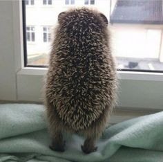 hedgehog at the window