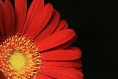 daisy by taniuniyana, via Flickr