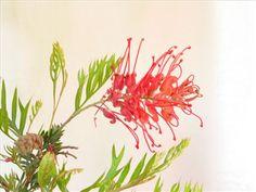 Grevillea 'Robyn Gordon' • Australian Native Plants Nursery • Plants • 800.701.6517