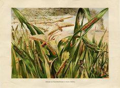 1920s Locusts Antique Print Authentic Antique by CarambasVintage