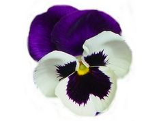 Adding some Pansies to my tattoo.