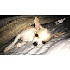Waking up beautiful  #LillyTheChihuahua #lilly #dogtreats #treats #playtime #chihuahualover #barkbox #chihuahuafanatics #chihuahuas #chihuahuasofinstagram #chihuahuaaddict #smalldogs #ilovemydogs #doyouslobbr #ilovemydogsmorethanpeople #chihuahualove_feature #chihuahuagram #chihuahuastagram #chihuahuasofig #awhdaily  Photo By: lillyandwilly  http://bit.ly/teacupdogshq