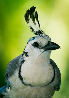 ❦ White Throated - Magpie Jay by Jeff Costa Rica Photography, via Flickr