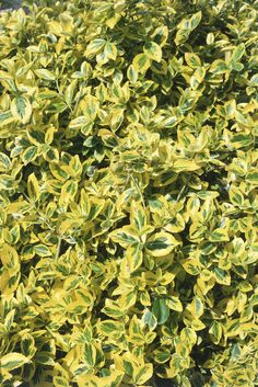 Plants for Winter Color - Winter creeper (Euonymus fortunei 'Emerald 'n' Gold' Mature size: 24 inches tall, 36 inches wide. Hardiness: Hardy to USDA Zone 5 Sun Plants, Shade Plants, Winter Flowers, Winter Colors, Garden Soil, Garden Plants, Evergreen Vines, Ground Cover Plants, Hardy Perennials