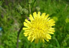 Health And Beauty, Dandelion, Thyroid, Flowers, Plants, Dandelions, Florals, Planters, Flower