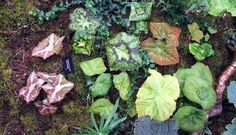 podophyllum collection- photograph taken by Ian  Young, published on the wonderful Scottish Rock Garden Club via the outlaw gardener