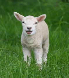 A lamb bleating. | 31 Fuzzy Little Lamb Pictures To Brighten The Day