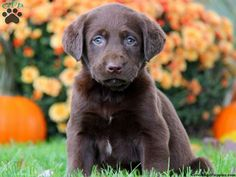 Jude, Chocolate Lab puppy for sale from Coatesville, PA $325 this is the one emma