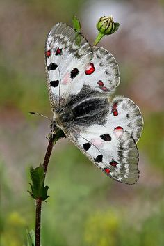 Small Apollo Butterfly by Gary Richardson nature Papillon Butterfly, Art Papillon, Butterfly Kisses, Butterfly Flowers, Butterfly Wings, Types Of Butterflies, Flying Flowers, Beautiful Bugs, Beautiful Butterflies
