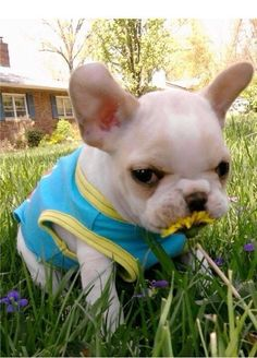 Just stopping to smell the flowers. French Bulldog
