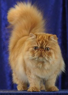 One of the most popular and most beautiful cat breeds is the Persian Cat. This longhaired cat is characterized by its round face and shortened muzzle. It is a breed that has been in existence since the 19th century and was first developed by the English.
