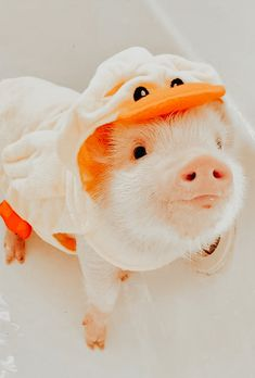 Cute Baby Pigs, Cute Piglets, Baby Animals Super Cute, Cute Little Animals, Cute Funny Animals, Baby Animals Pictures, Cute Animal Pictures, Fluffy Animals, Fluffy Cows