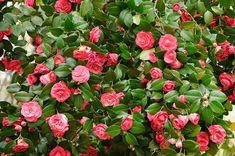 How to Grow Camellias Camelia Tree, Bush Garden, Garden Shrubs, Lawn And Garden, Garden Planters, Shade Garden, Trees And Shrubs, Trees To Plant, Gardens