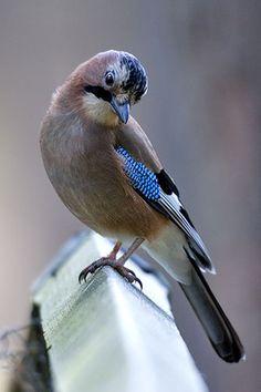 Ray Wilson's Bird & Wildlife Photography - Corvidae : Eurasian Jay (Garrulus glandarius)