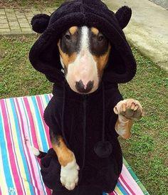 3,208 отметок «Нравится», 21 комментариев —  Bull Terrier Pics  (@bullterrierpics) в Instagram: «@lola_disaster bull bear   #bullterrierpics #bullterrier #ebt #bullie #bullterrierinstagram…»
