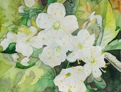 Spring - cherry blossoms (c) watercolor by Frank Koebsch