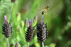 A bee flies off after harvesting from wild lavender flowers.
