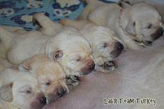 Labrador Retriever Turkey    http://www.yavrulabrador.com/satilik-secereli-labrador-yavrulari.html