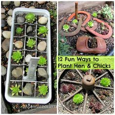 12 Fun Ways to Plant Hen and Chicks in a Junk Garden