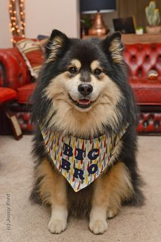 Breeding Finnish Lapphunds with love and care since based in south west England, UK. Kennel Club Assured Breeder, committed to great health, sweet temperament & correct breed type. Also known as the Finnish Lapponian Dog. Nikon, Husky, Puppies, Dogs, Animals, Animaux, Doggies, Animal, Animales
