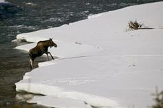 Moose in River next to ALCAN Highway, near Muncho Lake, BC, Canada.
