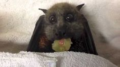 Fox Bat eating fruit - Funny Old World