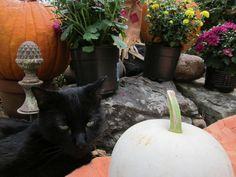 Pretty Scar by the white pumpkin.