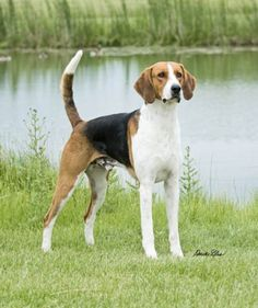 American Foxhound - This breed descended from English hounds imported to America in the 17th and 18th centuries. Over the years, an American type of hound evolved, with varying characteristics depending on whether it was used in competitive field trials, fox hunting, on trails or in packs.