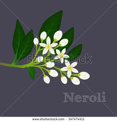 Orange blossom branch with flowers, buds and leaves. Floral composition with fleur d'orange. Neroli design on a dark background. Vector illustration for use in web design, print or other visual area. Wall Sculptures, Sculpture Art, Juice Packaging, Crepe Paper Flowers, Orange Blossom, Dark Backgrounds, Royalty Free Images, Plant Leaves, Stock Photos