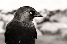 Vogel foto: Coloeus monedula / Kauw / Western Jackdaw - Anneke vdh