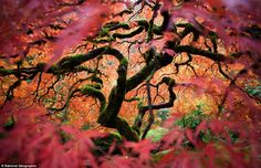 Just beautiful...    Fred An: 'This is the great Japanese maple tree in the Portland Japanese Gardens. I tried to bring a different perspective of this frequently photographed tree'