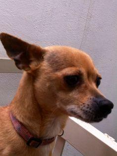 Belinda ...Chihuahua