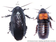 Panesthia angustipennis cognata Roaches, Bugs, Creatures, Board, Life, Animals, Insects, Moth, Animales