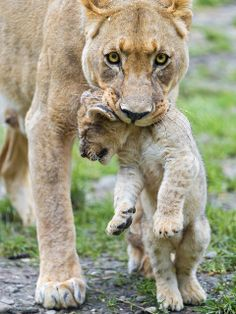 Lioness transporting her cub III | Flickr - Photo Sharing!