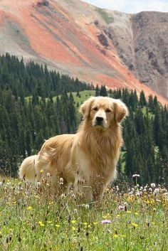 Beautiful Photo of Golden Retriever