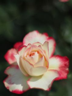 ~Hybrid Tea Rose: Rosa 'Princesse de Monaco' (France, 1981)~