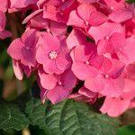 5 μυστικά για τη φροντίδα της ορτανσίας Rose, Flowers, Plants, Pink, Plant, Roses, Royal Icing Flowers, Flower, Florals