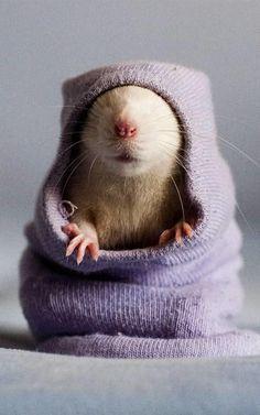 Little mouse in a purple sock