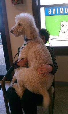 poodle sitting