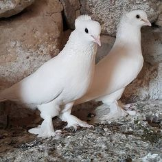 @pigeonturkey #pigeon
