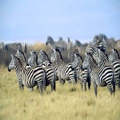 Did you know that Zebras usually stay in big herds... therefore join my Sprinkles That Bling team so you are not wandering alone... join my herd...lol...