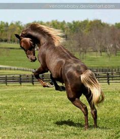 Chocolate Rocky Mountain horse...