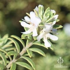 Westringia fruticosa 'Peppermint Cream' - variegated coast rosemary APPEARANCE : Compact native shrub, small rosemary-like silvery-green leaves, variegated in cream. White flowers appear intermittently throughout the year. Creamier-coloured foliage, slightly larger leaf than Smokie. USE FOR : Mixed beds and borders, rockeries, and low hedging; suited to coastal planting and wildlife gardens. PLANTING : Plant in well drained soil in a full sun to partly shaded position. Dense growth and… New Roots, Container Plants, Green Leaves, Shrubs, White Flowers, Peppermint, Cream White, Planting, Compact
