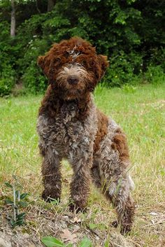 Lagotto Romagnolo Dog Breed Information