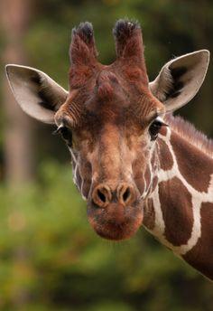 animal-obsession:  Giraffe - Klaus Lechten