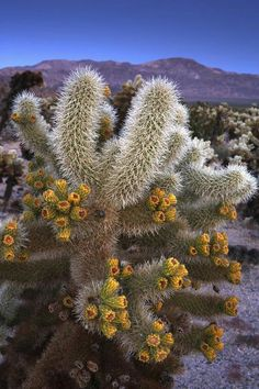 ✯ Cholla cactus in bloom. I got to see one myself and it is sooooooo pretty!✯ Cholla cactus in bloom. I got to see one myself and it is sooooooo pretty! Desert Flowers, Desert Cactus, Desert Plants, Wild Flowers, Agaves, Cactus E Suculentas, Cactus Planta, Cacti And Succulents, Planting Succulents