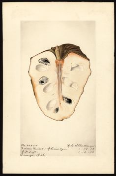 Artist:     Steadman, Royal Charles, b. 1875  Scientific name:     Annona cherimola  Common name:     cherimoyas  Variety:     Golden Russet