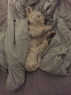 Awe, sleepy little Westie.