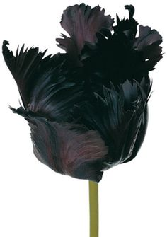 tulip queen of the night - Google Search